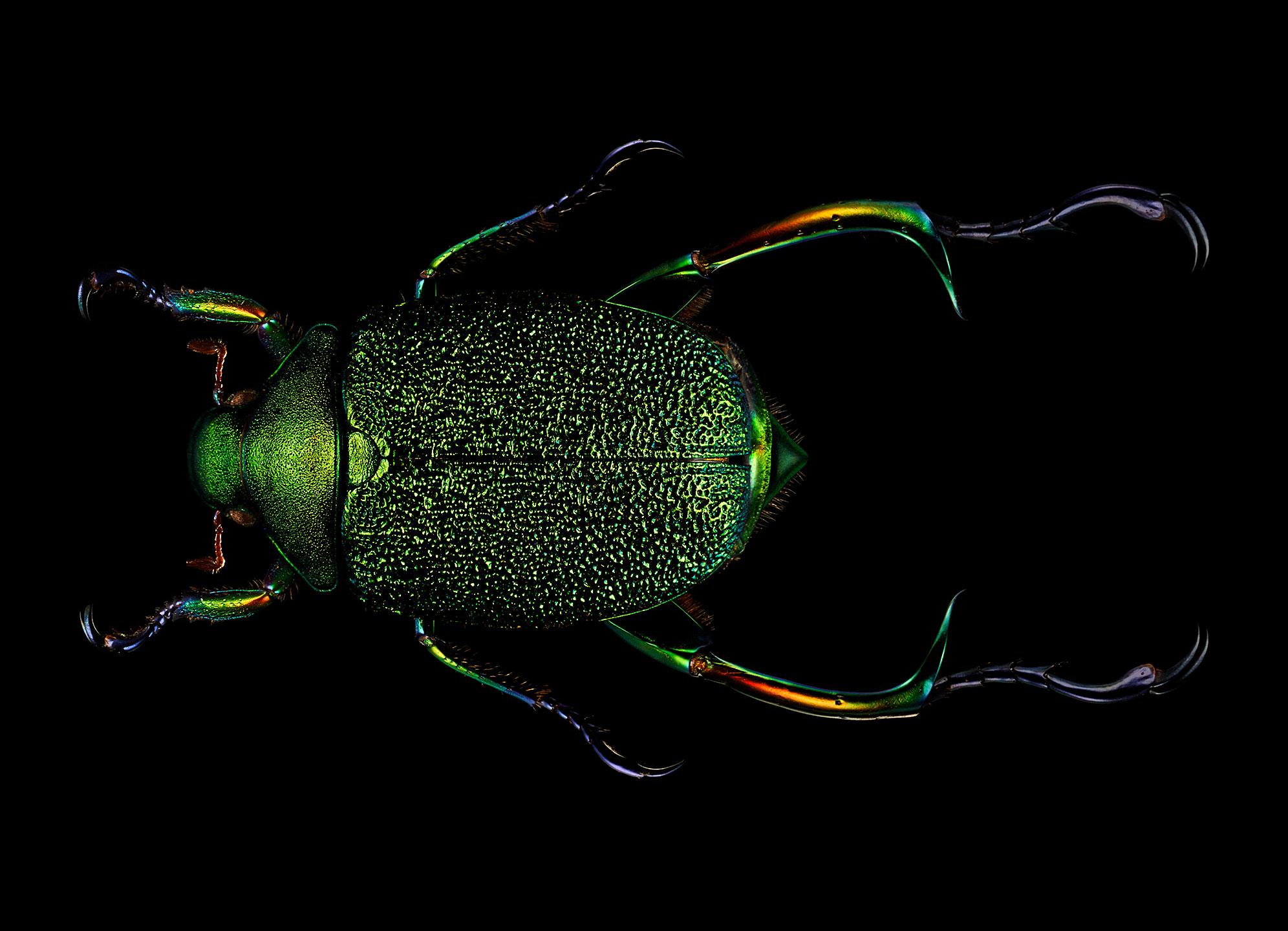 """<a href=""""//mrsteel.london/shop/shining-leaf-chafer-beetle/"""">REVEAL DETAILS / BUY</a>"""