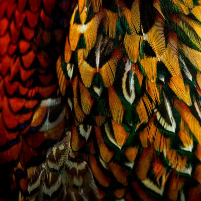 THE COMMON PHEASANT COLLECTION