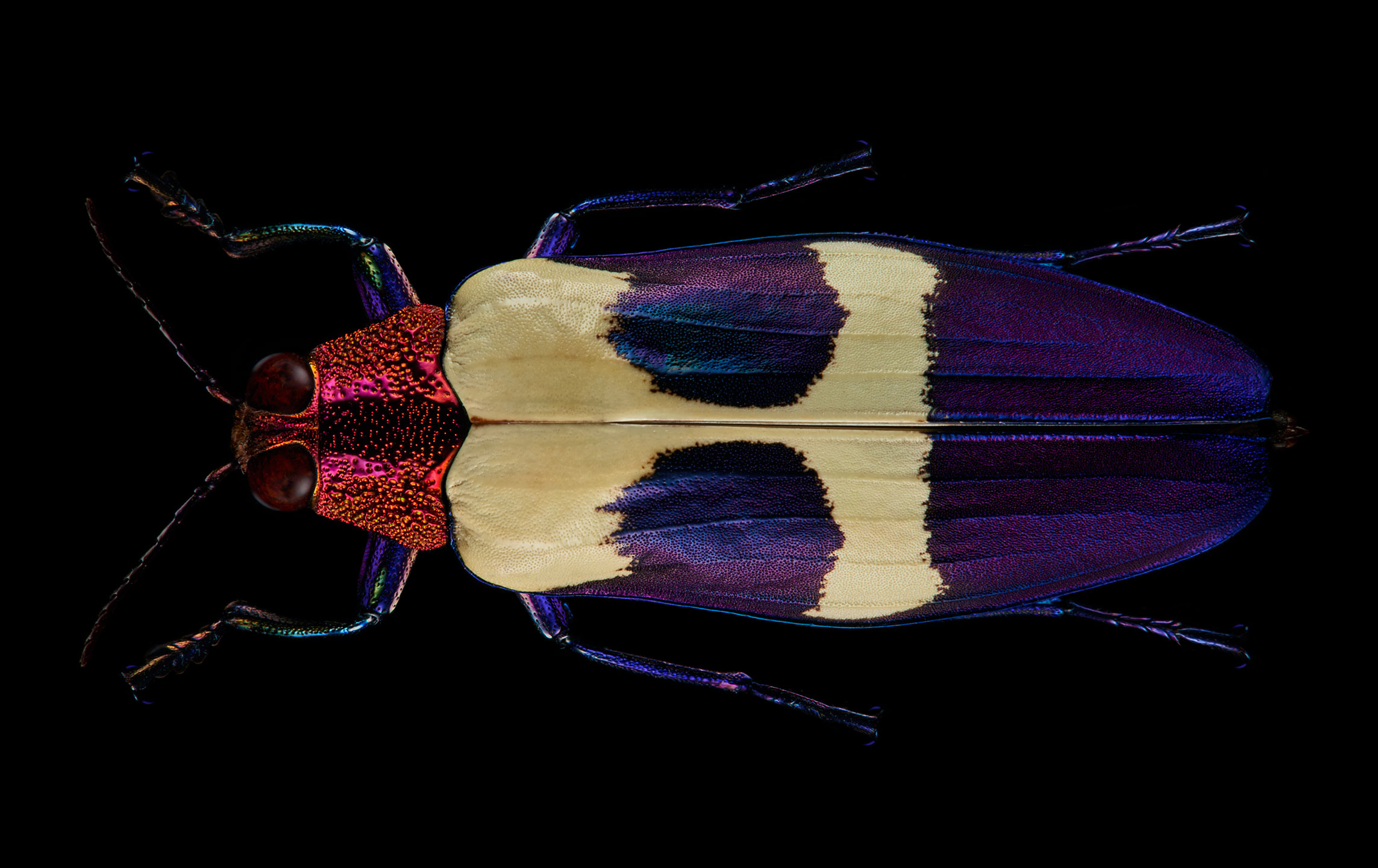 "<a href=""//mrsteel.london/shop/red-speckled-jewel-beetle/"">REVEAL DETAILS / BUY</a>"