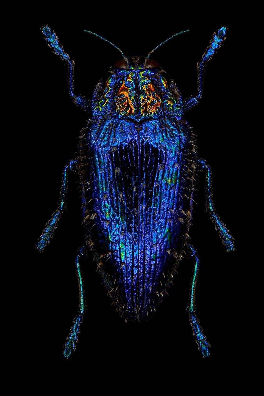 "<a href=""//mrsteel.london/shop/sapphire-queen-jewel-beetle/"">REVEAL DETAILS / BUY</a>"