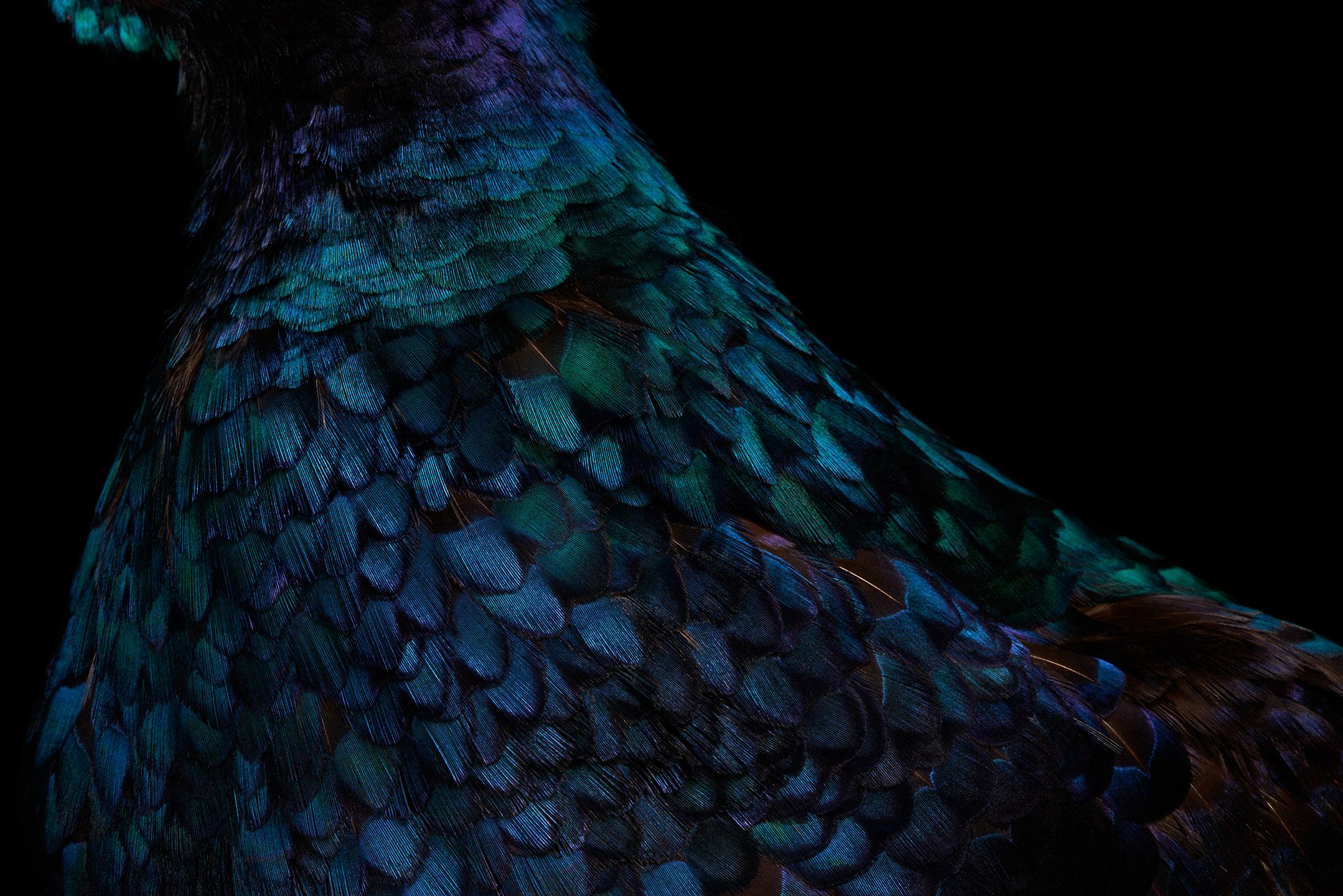 "<a href=""//mrsteel.london/shop/melanistic-pheasant-iv/"">REVEAL DETAILS / BUY</a>"