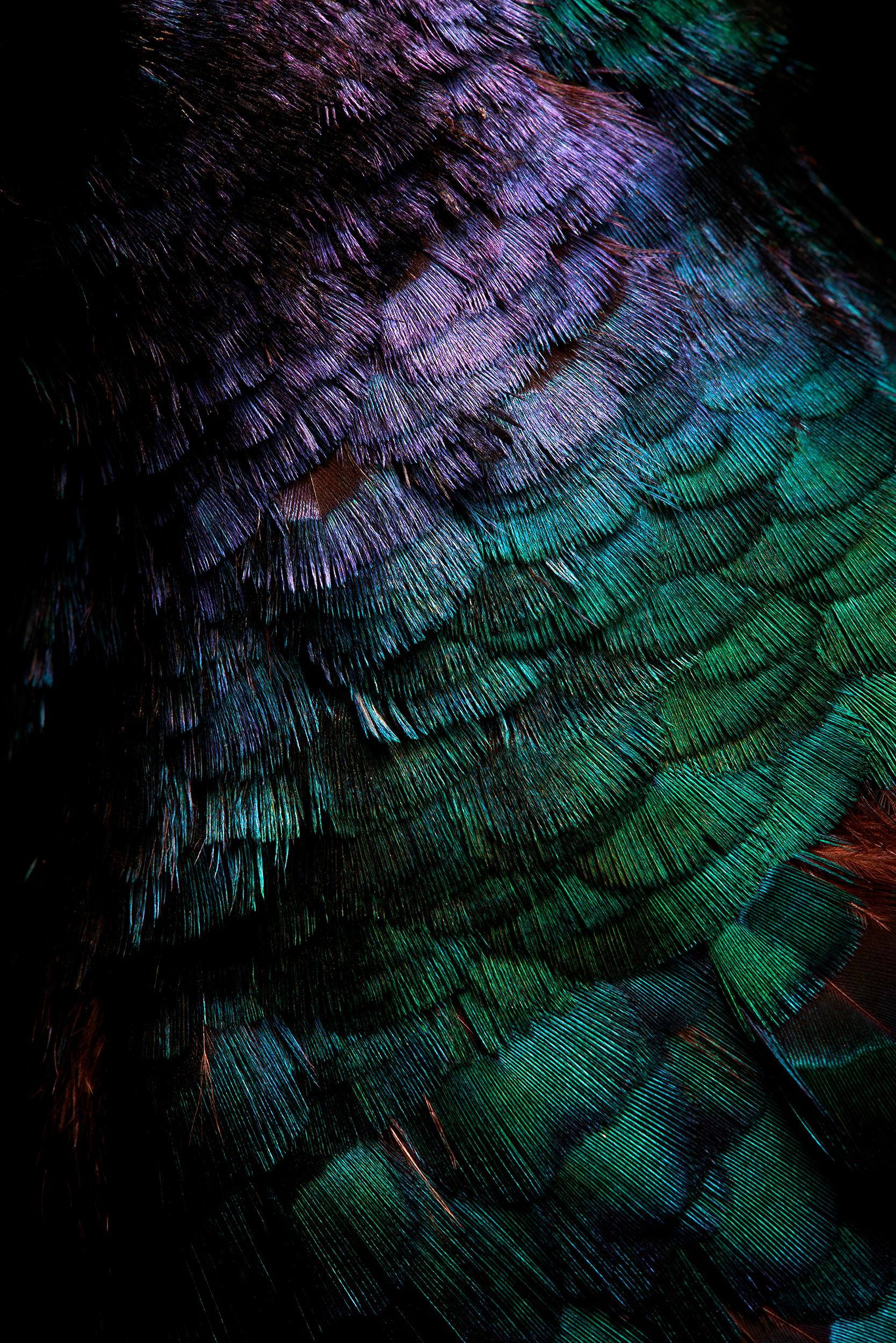 "<a href=""//mrsteel.london/shop/melanistic-pheasant-iii/"">REVEAL DETAILS / BUY</a>"