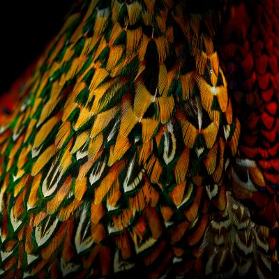 RING-NECKED PHEASANT VI